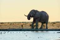 Der Elefant hat die Löwen vertrieben. Von wegen König der Tiere ;)