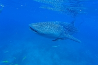 Whalesharks, Oslob, Philippinen