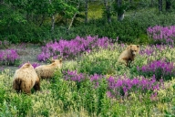 Grizzly Familie @Kluane Lake